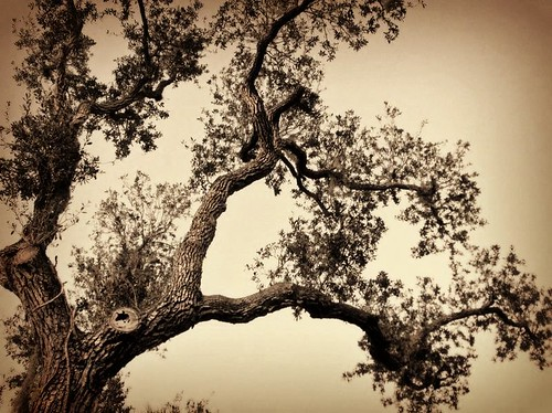Gnarly Tree in Sepia