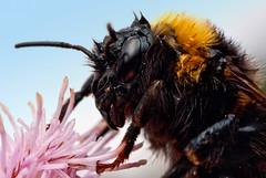 Wet Bumblebee