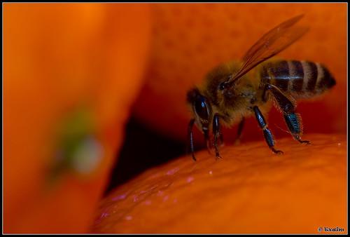 Abeille dans les oranges