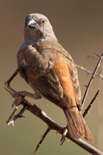 Parrot-billed Sparrow