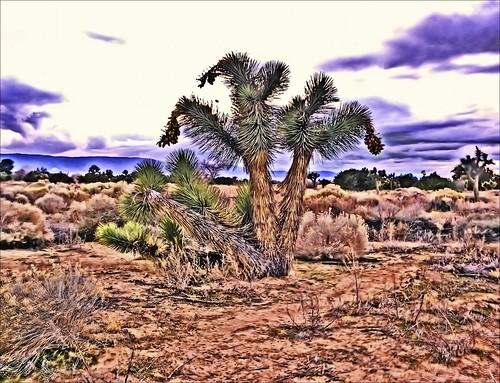 trees nature desert joshua joshuatree mojave mojavedesert mohave mohavedesert mywinners quantummottle2 joelach