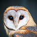 Barn Owl (explore)
