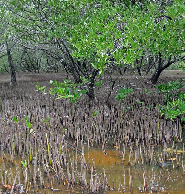 Respiratory roots mangrove
