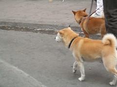 west siberian laika(0.0), street dog(0.0), east siberian laika(0.0), greenland dog(0.0), finnish spitz(0.0), icelandic sheepdog(0.0), dog breed(1.0), animal(1.0), akita(1.0), dog(1.0), shiba inu(1.0), pet(1.0), shikoku(1.0), mammal(1.0), korean jindo dog(1.0), norwegian lundehund(1.0),