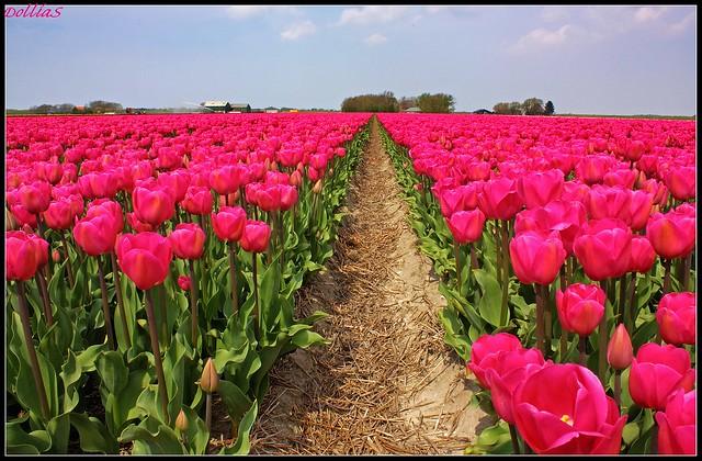 Flowering Zijpe - Holland