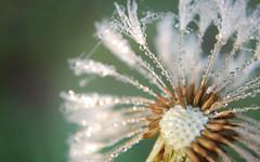 Carbonated dandelion