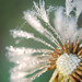 Small photo of Carbonated dandelion