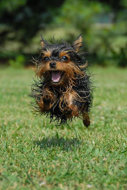 Yorkie on the Run