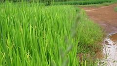 plant(0.0), meadow(0.0), lawn(0.0), prairie(1.0), agriculture(1.0), field(1.0), soil(1.0), grass(1.0), wheatgrass(1.0), chrysopogon zizanioides(1.0), green(1.0), paddy field(1.0), crop(1.0), grassland(1.0),