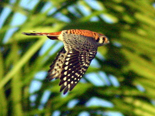 Male American Kestrel Flying