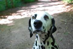 dog breed(1.0), animal(1.0), dog(1.0), dalmatian(1.0), braque d'auvergne(1.0), carnivoran(1.0),
