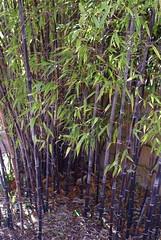bamboo in norfolk?
