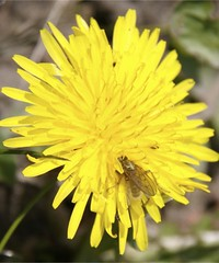 Fly on Dandelion Flower (IMG_2296)