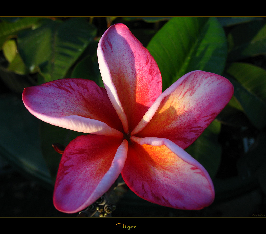 The Plumeria Tiger