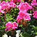 Pink Geraniums 1