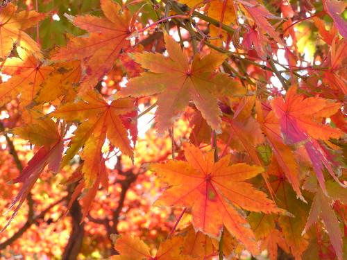 Autumn Leaf in Nagasaki