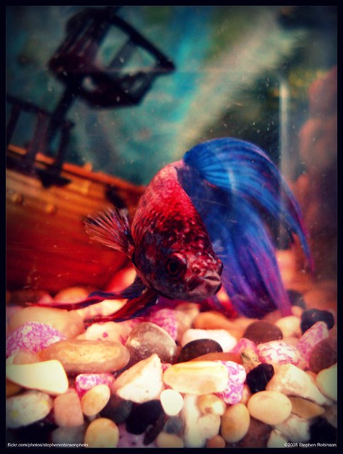 Japanese fighting fish betta closeup flickr photo for Japanese fighter fish