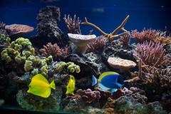 coral reef(1.0), coral(1.0), coral reef fish(1.0), organism(1.0), marine biology(1.0), fauna(1.0), aquarium lighting(1.0), natural environment(1.0), underwater(1.0), reef(1.0), pomacentridae(1.0), aquarium(1.0),