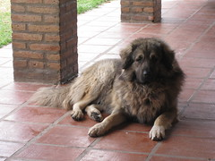 newfoundland(0.0), dog breed(1.0), animal(1.0), dog(1.0), caucasian shepherd dog(1.0), leonberger(1.0), estrela mountain dog(1.0), sarplaninac(1.0), carnivoran(1.0),