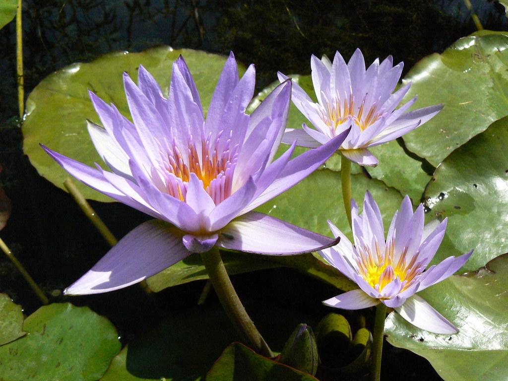 Lotus A Thousand Petals Of Transformation Ayala Moriel Parfums
