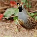 California Quail - Photo (c) Minette, some rights reserved (CC BY-NC)