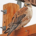 Ferruginous Hawk - Photo (c) Jerry Oldenettel, some rights reserved (CC BY-NC-SA)
