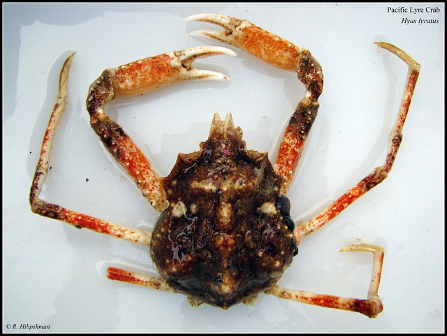Pacific Lyre Crab (Hyas lyratus)