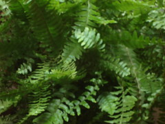 ostrich fern, ferns and horsetails, vegetation,