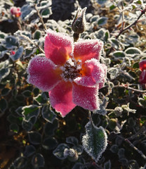 Frost-Covered Rose