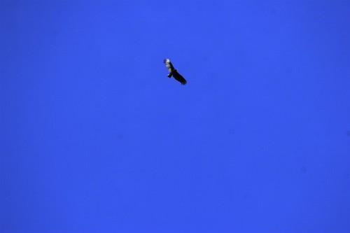 bird of prey soaring overhead    MG 2084