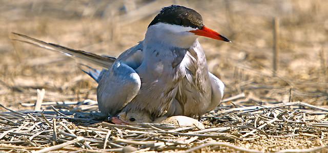 E-3 White-cheeked Tern الخرشنة بيضاء الخد