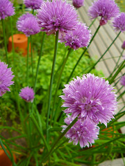annual plant, flower, plant, wildflower, flora, chives,
