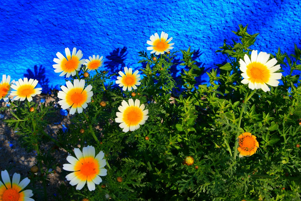 Daisies and blue wall