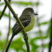 Pale-edged Flycatcher - Photo (c) David Cook, some rights reserved (CC BY-NC)