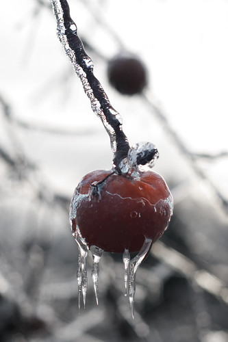 life winter ice apple fruit orchard toolate icicles lessons carpediem dontwait harvestfail