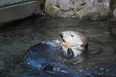 animal, marine mammal, zoo, mustelidae, fauna, sea otter, wildlife,