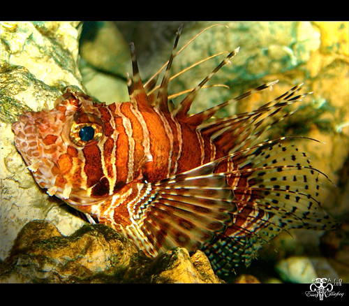 Zebra Lionfish - a pho...