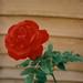 A Trimley Rose