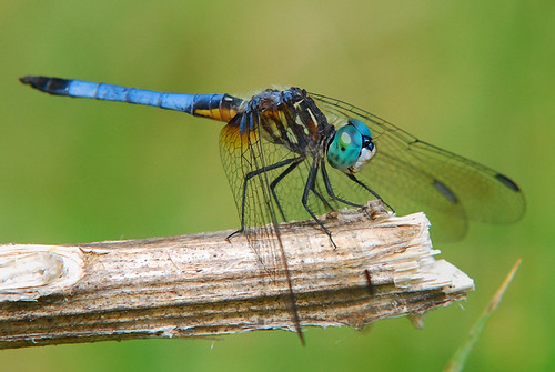 Dragonfly - blue eyes...