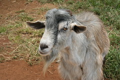 cattle-like mammal, animal, field, mammal, goats, domestic goat, fauna, pasture, wildlife,