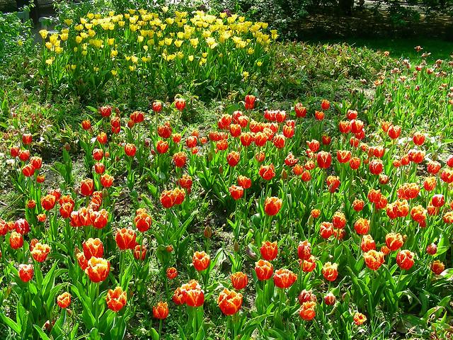 Amsterdam Tulip Garden Flickr Photo Sharing
