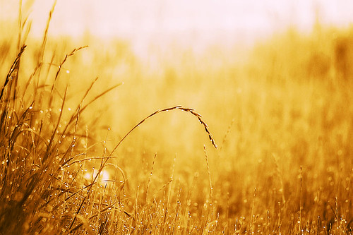 morning sun wet grass gold dew waterdrops