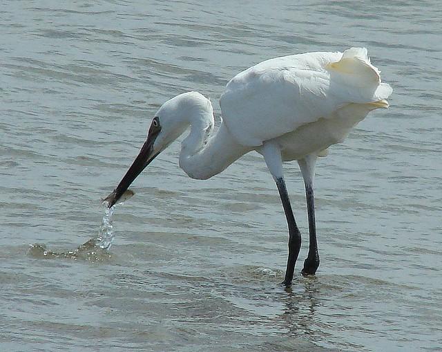 Garza rojiza [Reddish Egret] (Egretta rufescens rufescens) (Juvenil morfo blanco [White morph juvenile])