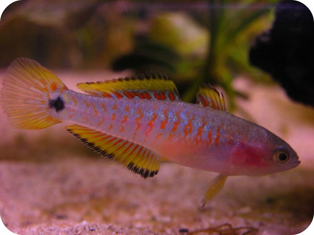 Female peacock goby Flickr - Photo Sharing!