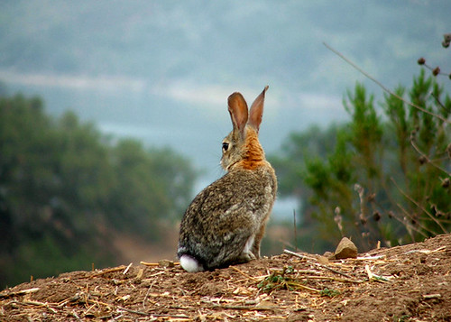 Rabbit overlooking valley I