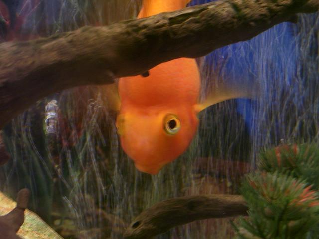 Peekaboo Fish Blood parrot cichlid