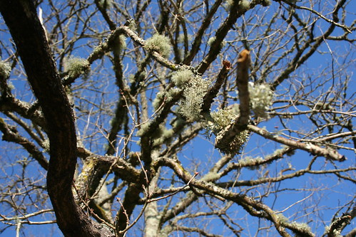 Lichens on oak branches IMG_0747