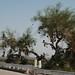 Small photo of Amboy shoe tree