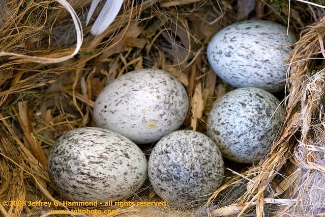 House Sparrow eggs | House sparrow eggs in nest. This nest ...
