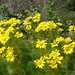 giant coreopsis - Photo (c) James Gaither, some rights reserved (CC BY-NC-ND)